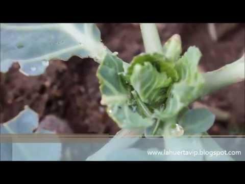Eliminar pulgones doovi for Como quitar las hormigas del jardin