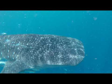 Madagascar 2017 - Whale Sharks Scientific Expedition, CSS