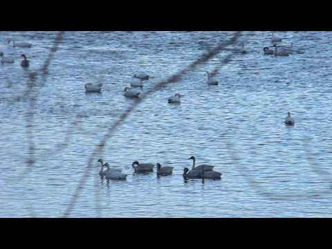 Tundra Swans at Brownsville Minnesota