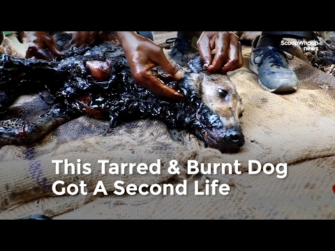 Dramatic Rescue Of A Stray Dog Who Got Tarred And Burnt