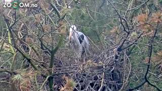 Heron mother swallows HER OWN CHICK!