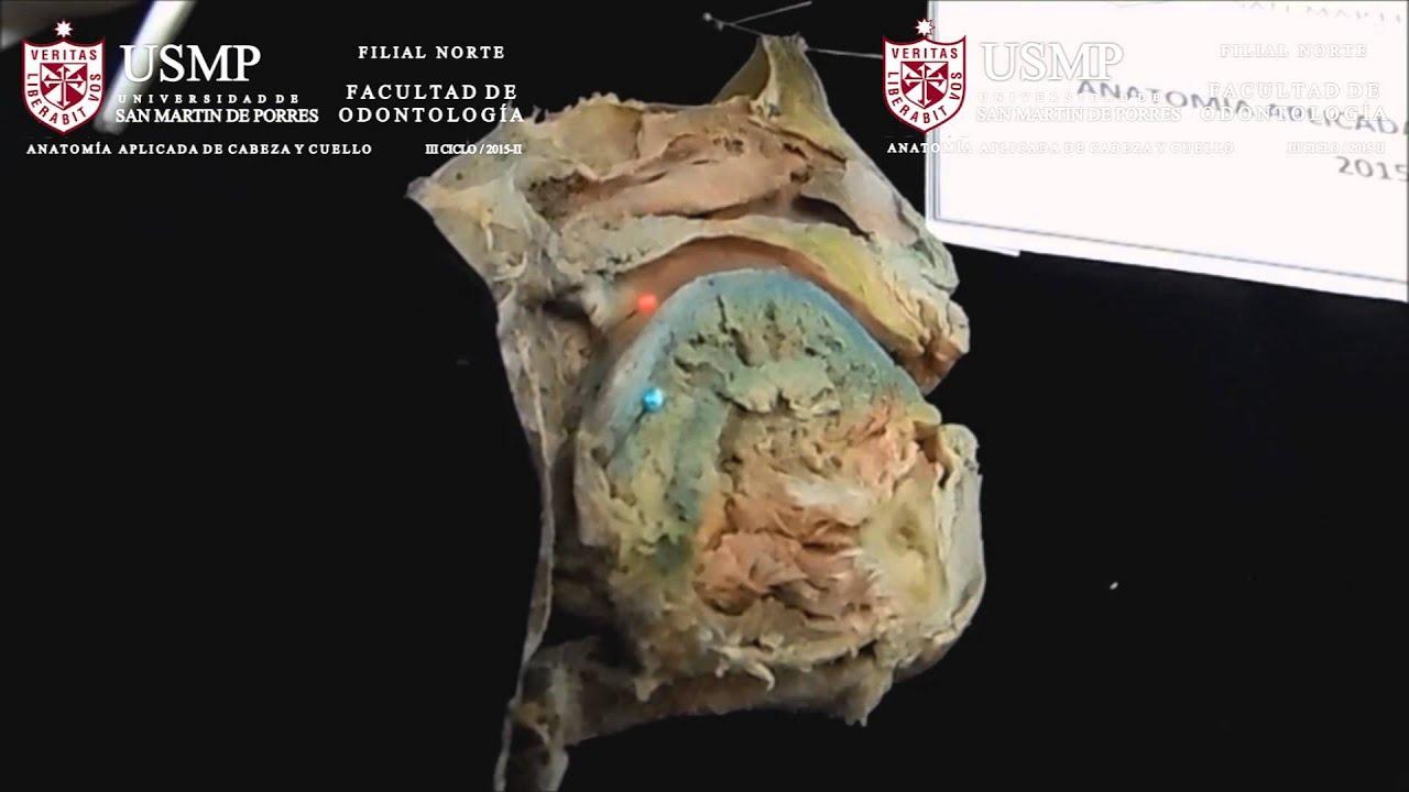 ANILLO L. DE WALDEYER ODONT. ANAT. APL. USMP.F. NORTE 2015-II - YouTube