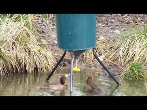 Sea Duck Feeder Youtube