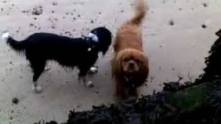 """Cavalier King Charles Spaniel George Showing His """"brother"""" Bailey How To Jump."""