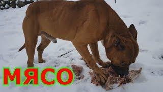 Ам Стафф бойцовая собака Против 2.5 кг сырого мяса кто ко го ???