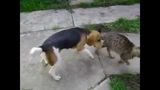 Beagle puppy playing with a cat