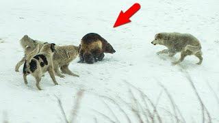 РОСОМАХА В ДЕЛЕ... Росомаха против волков собак северного оленя