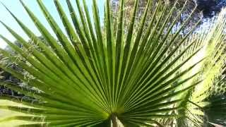 Mexican Fan Palm tree - Washingtonia robusta HD 07