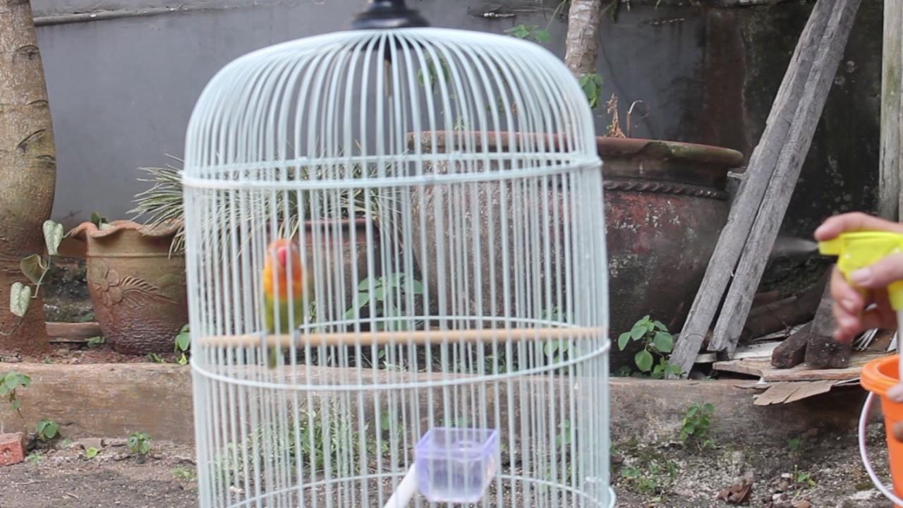 Cara Merawat Burung Love Bird Supaya Menjadi Juara Youtube