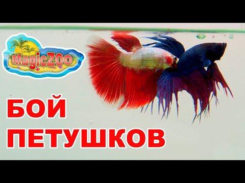 Бой петушков.Рыбка петушок. Betta Fight.
