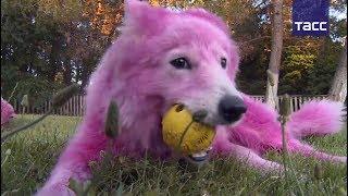 Покрашенные в розовый самоеды находятся в гостинице для собак