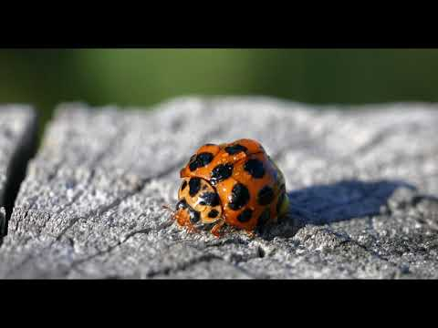 Lady Beetle Cleaning