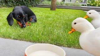 Loulou & Coco's Diary| The ducks are stealing dog food.
