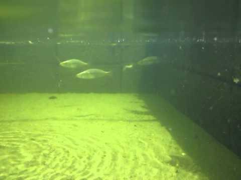 Dimidiochromis compressiceps neighborhood fish farm for Neighborhood fish farm