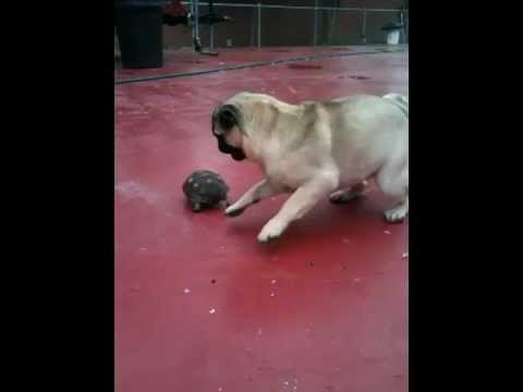 Pug makes friends with a turtle