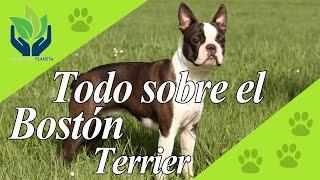 Boston terrier: todo sobre esta raza