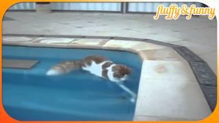 Turkish Van cat loves water, турецкий кот любит воду