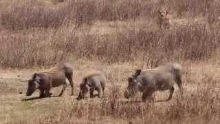 Lioness Hunting Warthog - A Real Life Nala Trying to Kill Pumba For Lunch