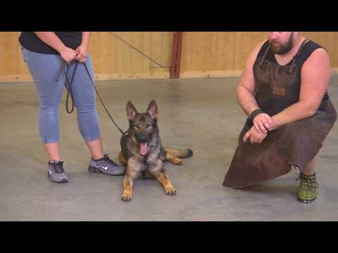 Protection Trained German Shepherd For Sale 'Apex' 17 Months For Sale