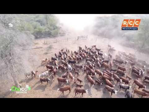 Producción de terneros y combinación de razas diferentes - Laguna Porã | El Chaco Avanza ✅