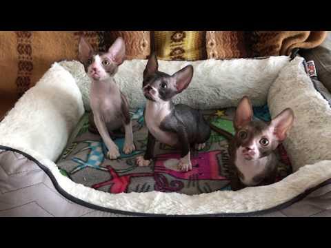 9 weeks old Cornish Rex kittens- 3 girls LOVE, MODESTY, PATIENCE