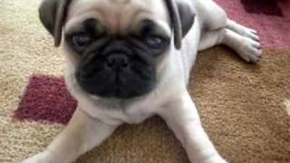 Pugs For Sale !