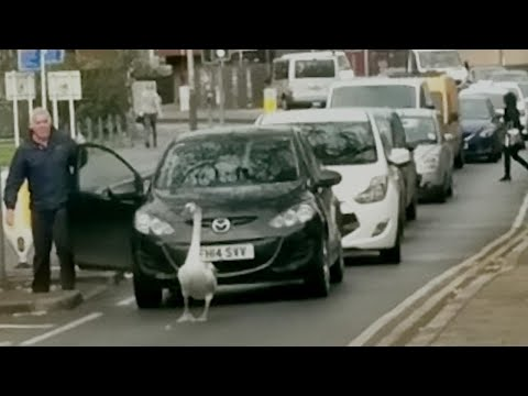 Stubborn Swan Causes Massive Traffic Jam for Morning Commuters