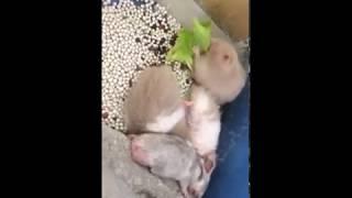 Bán Chuột Hamster - Ghiến Ăn Rau @@