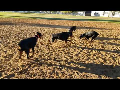 Dobermans Having Some Fun Outside - Cold Weather Play Time