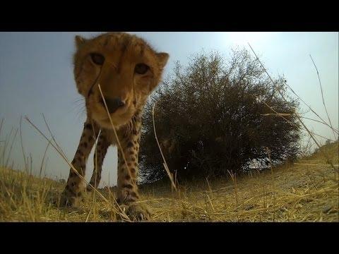 GoPro  Cheetah Licks My GoPro