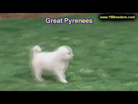 Great Pyrenees, Puppies, For, Sale, In, Anchorage, Alaska,AK, Fairbanks, Juneau, Eagle River