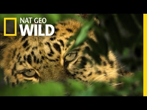 The Elusive Amur Leopard | The Forbidden River