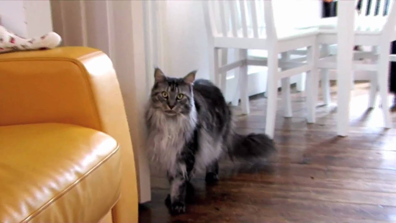 Maine Coon personality - YouTube