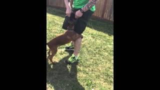 Optimum Canine Llc.  Knox At 14 Weeks.