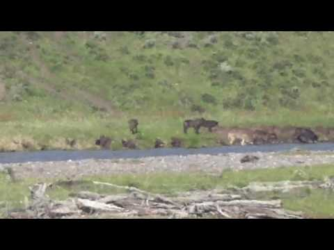 Wolves in Lamar valley Yellowstone June 2016