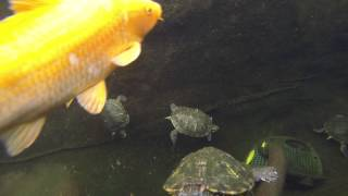 Turtle and Koi Pond