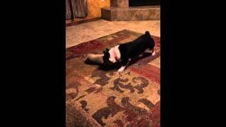 Pembroke Welsh Corgi Playing With New Corgi Puppy