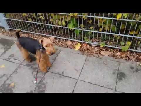 Apti Welsh Terrier (Apti - Terier Walijski - spacer 2016.10.22, cz.2)