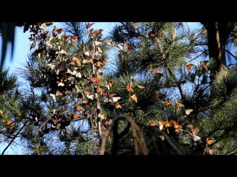 The Migration of Monarch Butterflies, Pacific Grove, CA