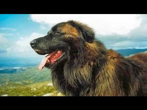 Estrela Mountain Dog (Cão da Serra da Estrela) - Dog Breed