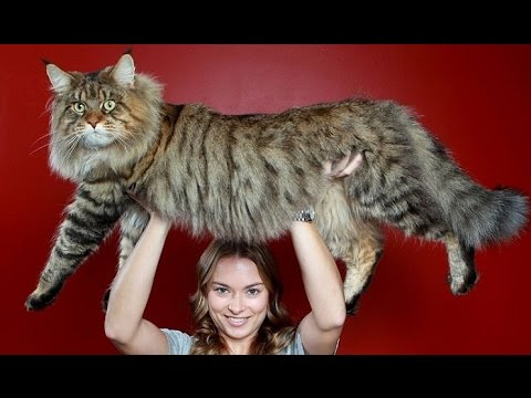 большие коты фото