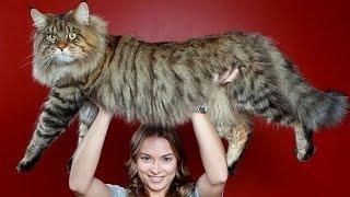 ТОП 11 - самые большие коты в мире: породы кошек от бобтейла до саванны