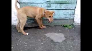 Щенок Рыжик, 4,5 мес.,  ищет дом (Барнаул)