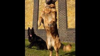 German shepherd vs belgian shepherd