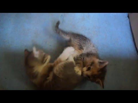 Cмотреть видео онлайн Отдам котенка в хорошие руки, Санкт Петербург, метро Старая Деревня