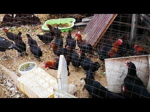 Перевожу кур в тёплый птичник, уплотняю посадку птицы