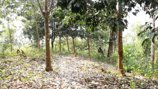 Rubber plantation in India: Untapped trees of Hortoki, Mizoram