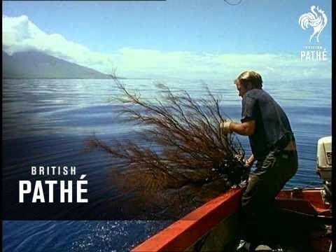 Black Coral (1968)