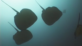 Stingrays - Reef Life of the Andaman - Part 5