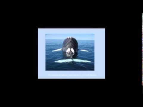 Natural History of Humpback Whales in Alaska and the North Pacific: a 30 Year Perspective, 2011